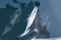Dolphins in Doubtfull Sound, New Zealand