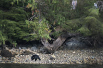 Blackbear in Clayoquot Sound, Vancouver Island